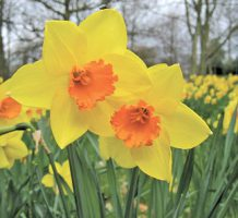 Plant bulbs now for your spring garden