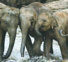 Help care for elephants in Cambodia