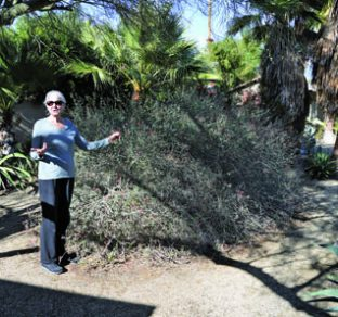 Mary Brent Wehrli, President Of The Desert Horticultural Society Of The  Coachella Valley, And Her Husband Have Cultivated One Of The Valleyu0027s  Outstanding ...