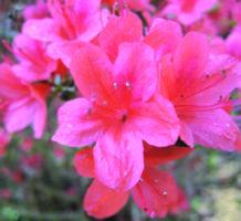 Azaleas are your garden's spring royalty
