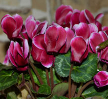 Houseplants to love for Valentine's Day