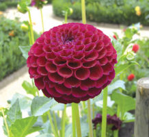 Divide perennials to expand your garden