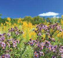 Choose these perennials for fall blooms