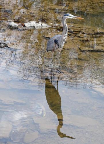 blue heron — David Satinsky