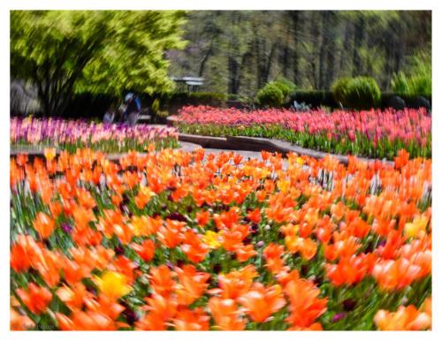 Tulip Twirl — Judy Ackerman
