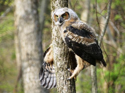 Juvenile Owl at Ellanor C. Lawrence Park — Angela Camp