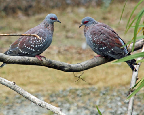 Morning Doves — Norvell Brown