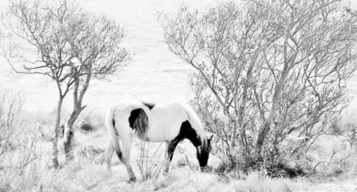 Assateague Island Pony black and white — Linda Kerr